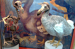 Mauritius dodo - hunted to extinction 300 years ago
