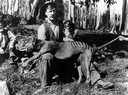 Tasmanian tiger - dead & now extinct